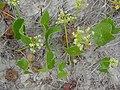 Hydrocotyle bonariensis 2.jpg