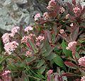 Hylotelephium telephoides Shenandoah National Park Hawksbill.jpg