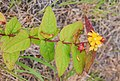 Hypericum androsaemum in Waioeka Gorge SR 04.jpg