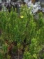 Hypericum juniperinum 1.jpg