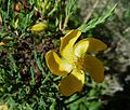 Hypericum laricifolium - Flickr - Dick Culbert.jpg