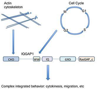 IQGAP1 -  IQGAP1 integrates diverse signaling pathways.