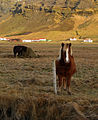 Icelandic ponies at Hof farmstead.jpg