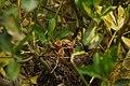 Il nido dei merli - Flickr - Rino Porrovecchio.jpg