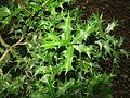 Ilex dimorphophylla 2.JPG