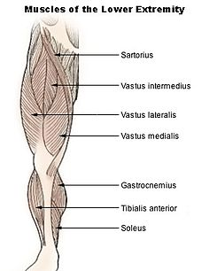 Illu lower extremity muscles.jpg
