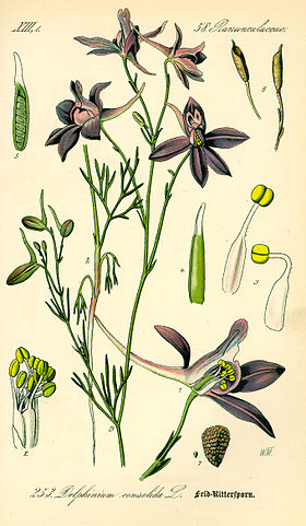 Illustration Consolida regalis0.jpg