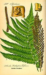 Illustration Matteuccia struthiopteris0.jpg