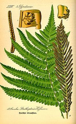 Struisvaren (Matteuccia struthiopteris)