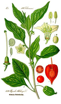 Illustration Physalis alkekengi0 clean.jpg