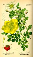 Illustration Rosa pimpinellifolia0.jpg