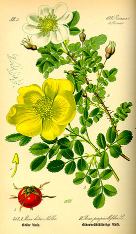 Illustration Rosa pimpinellifolia0.jpg