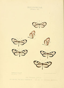 Illustrations of new species of exotic butterflies Ithomia XVII.jpg