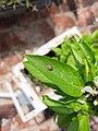 Indian Wave Stripe Ladybug.jpg