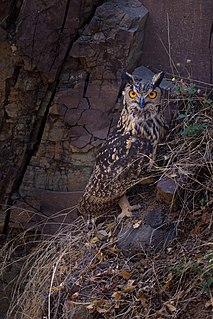 Indian eagle-owl Species of owl