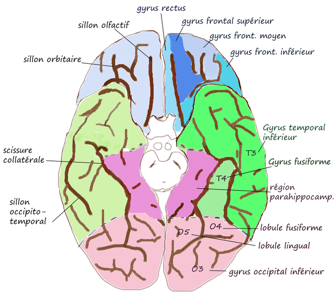 ILLUSTRATION : Gyrus fusiforme (Source : Wikimedia)
