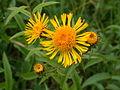 Inula salicina flowers2.jpg
