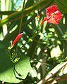 Ipomoea hederifolia 2.JPG