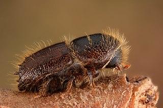 European spruce bark beetle Species of beetle