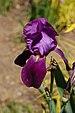 Iris cultivar (X-2649-A).JPG
