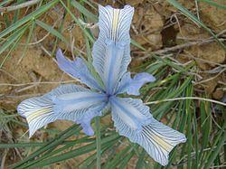 Iris tenuifolia; Baikonur 005.jpg