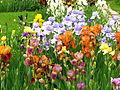 Irises in the Botanical Garden 02.JPG