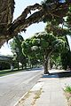 J20150602-0025—Melaleuca linariifolia—Albany (17846363604).jpg