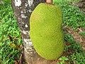Jackfruit ചക്ക.JPG