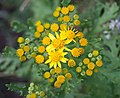 Jacobaea vulgaris-3235.jpg