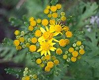 J. vulgaris, stånds