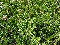 Jacobaea vulgaris subsp. dunensis plant (01).jpg