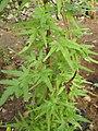 Japanese climbing fern (Lygodium japonicum) leaves.jpg