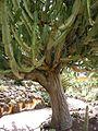 Jardín canario 45.JPG