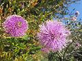Jardi botanic de barcelona melaleuca nesophila.jpg