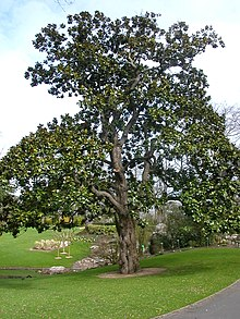 Picturemagnolia Flower on Magnolia Grandiflora   Wikipedia  The Free Encyclopedia