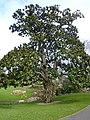 Jardin des plantes Nantes-Magnolia Hectot.jpg