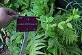 Jasminum arboreum, Conservatoire botanique national de Brest 01.jpg