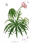 Jatropha multifida Blanco2.342