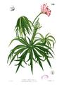 Jatropha multifida Blanco2.342.png