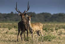 Javan Deer couple - Baluran NP - East Java (29505339513).jpg