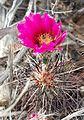 Joshua Tree National Park - Hedgehog Cactus (Echinocereus engelmannii) - 07.JPG