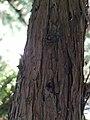 JuniperusOxycedrus sspMacrocarpa BotGart-Valencia 20191130 3.jpg