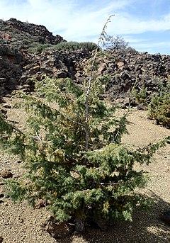 240px juniperus cedrus kz3