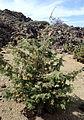 Juniperus cedrus kz3.JPG