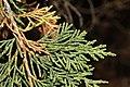 Juniperus maritima 3222.JPG