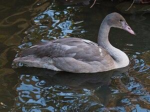 Trumpeter swan - Juvenile at the Cincinnati Zoo