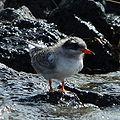 Juvenile arctic tern by Bruce McAdam.jpg