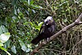 Kaka are a forest parrot native to NZ. Once critically endangered, they are experiencing a major revival with supplemental feeding and predator free reserves. There are now regular sighting in the (34007188273).jpg