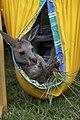 Kangaroo (4428294279).jpg