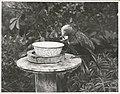 Kapiti Island - Wild Kaka feeding at feeding bowl.jpg